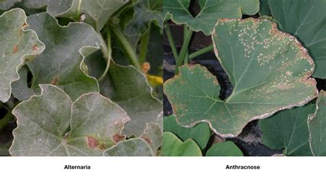 diseases of watermelon plants alternaria cucurbits ontario cropipm