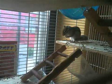 gabbia per scoiattoli giapponesi la scoiattola squicky tornata ieri dal letargo