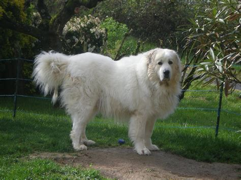 grand pyrenees great pyrenees pictures wallpapers9