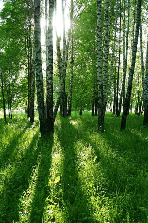 illusions color spa birch trees with shadows in summer stock photo