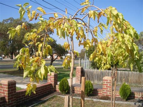 fruitless mulberry tree problems bing images