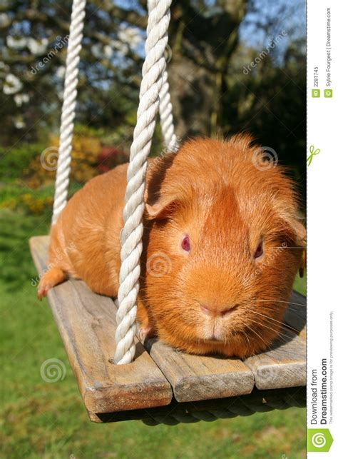 pig on a swing guinea pig on a swing royalty free stock photo image