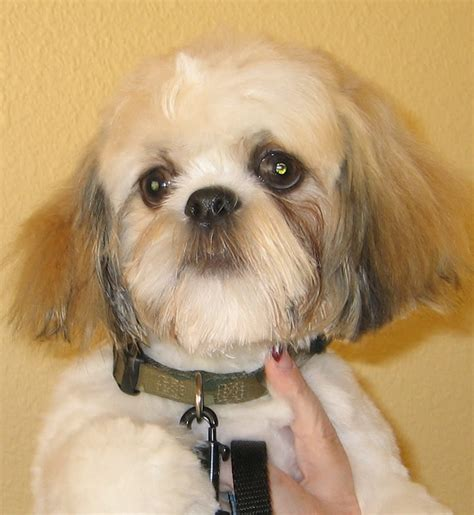 need pictures of shih tzu haircuts pet need pictures of shih tzu haircuts pet image search results