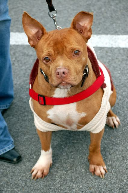 pitbull mixed with chihuahua puppies pitbull chihuahua mix a k a chipit breed info characteristics and pictures