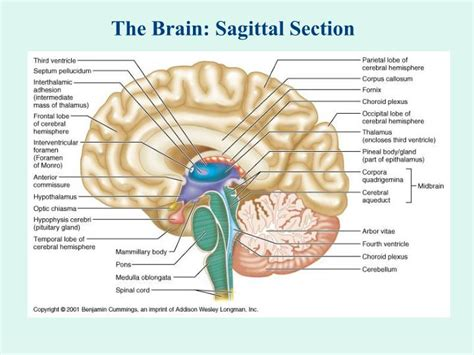 sagittal section of brain labeled sagittal brain section 28 images game statistics