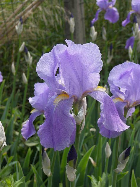 iris flowers iris