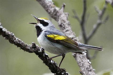 saving north carolina s climate threatened birds audubon