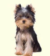 yorkie puppies for sale in baltimore 17 best images about havashire havanese on yorkie abyssinian