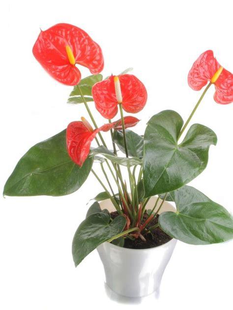 100 indoor plants low light flower for low light indoor plants low light hgtv