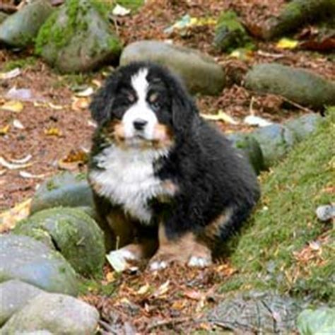 bernese mountain puppies cost bernese mountain club of america bernese puppies faq