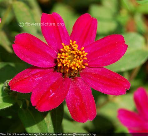 fiori zinnie zinnia zinnia marylandica zahara coral zinnia