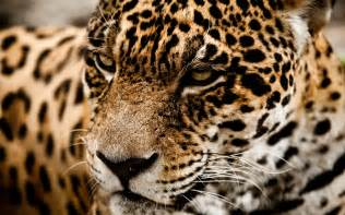 Jaguar Cat Jaguar Cat Muzzle L Wallpaper 2560x1600 166512