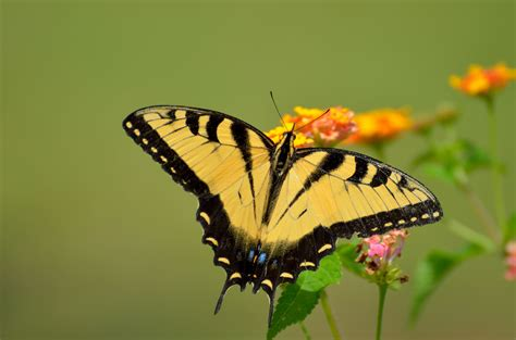 yellow pattern butterfly free images nature wing flower fly summer floral