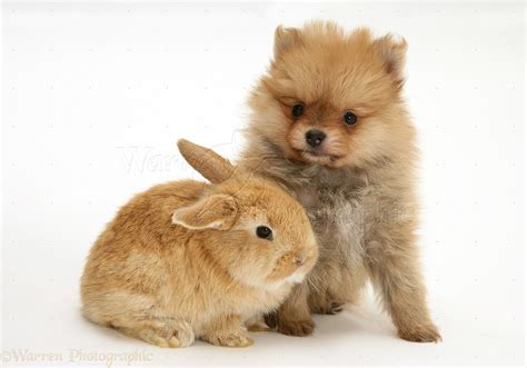 puppy with baby pets pomeranian puppy with baby lop rabbit photo wp25139