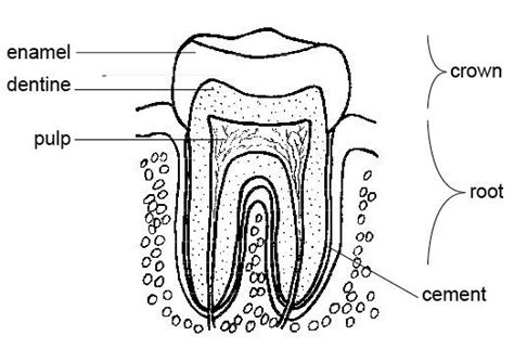 Tooth Anatomy Coloring Page Career