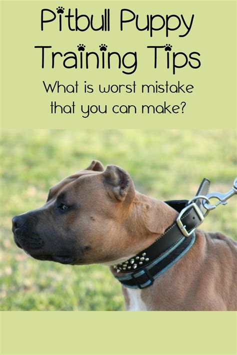 pitbull puppy tips pitbull puppy tips the mistake owners make dogvills