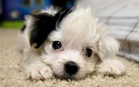 black and puppies black and white mutt puppies wallpaper