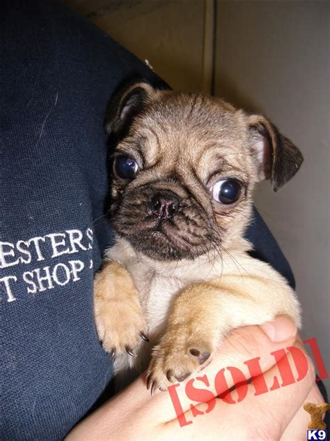 pug breathing problems jug puppies pug x terrier 8 weeks ready now 35501