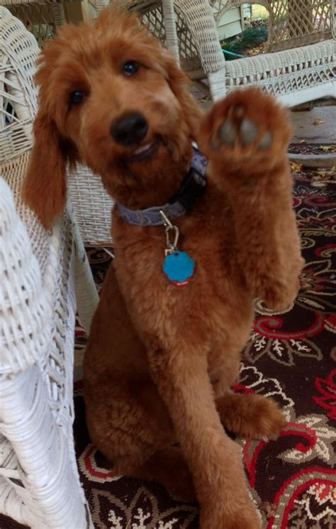 goldendoodle puppy help 1000 ideas about goldendoodle on