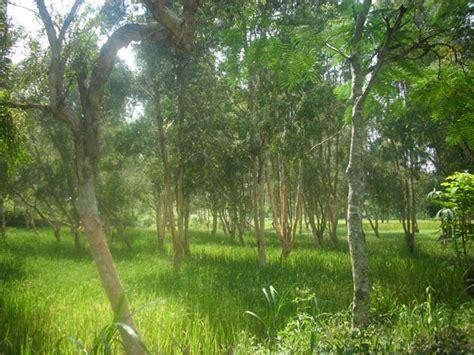 Minyak Kayu Putih Yang Paling Kecil tanaman cursari antara padi dengan kayu putih wadiyo