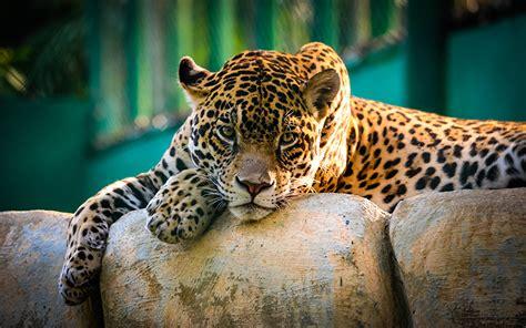 imagenes jaguar felino fondos de pantalla jaguar grandes felinos animalia