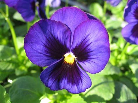 fiore viola fiore viola piante annuali caratteristiche della viola