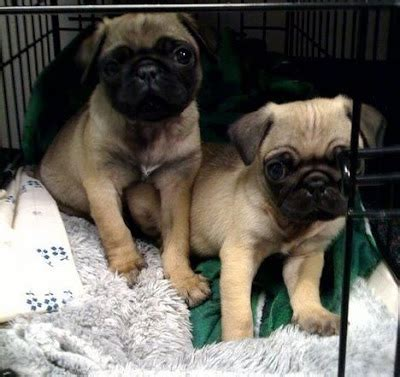 pug puppies ny pug rescue new york nyc ny ma ct nj ri