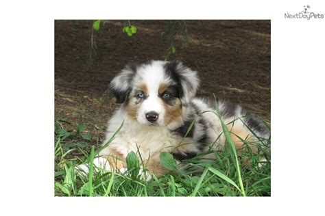 australian shepherd puppies in michigan australian shepherd puppy for sale near battle creek michigan 6c27914e dfc1