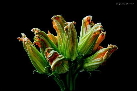 fiori zucchina fiori di zucchina juzaphoto