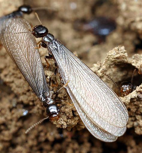order isoptera ent  general entomology