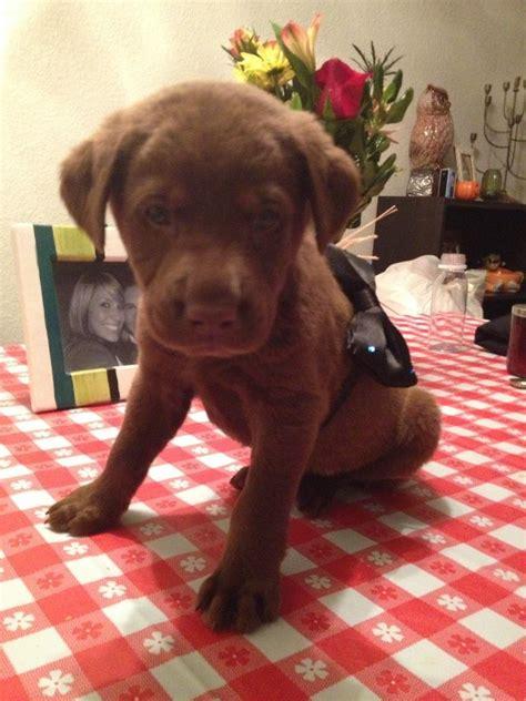 8 week puppy diarrhea my 6 week chocolate lab has parvo help wickedfire affiliate