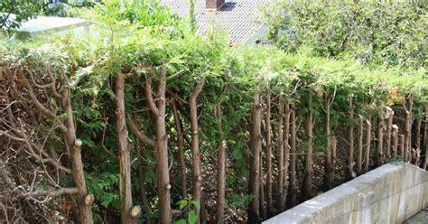 Lebensbaum Schneiden lebensbaum und scheinzypresse r 252 ckschnitt mein sch 246 ner