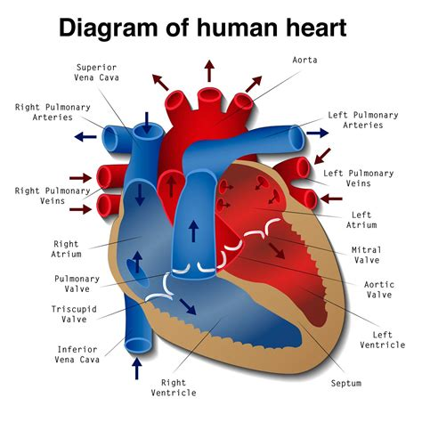 diagram of the heat printable diagrams of the human printable diagram