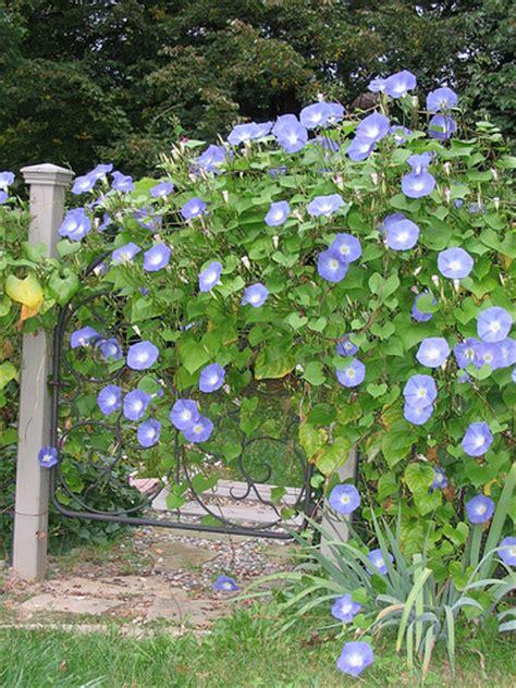 kletterpflanzen halbschatten morning flower pictures of morning flowers