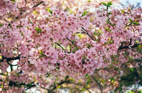 akebono cherry tree outdoor garden gardening pinterest