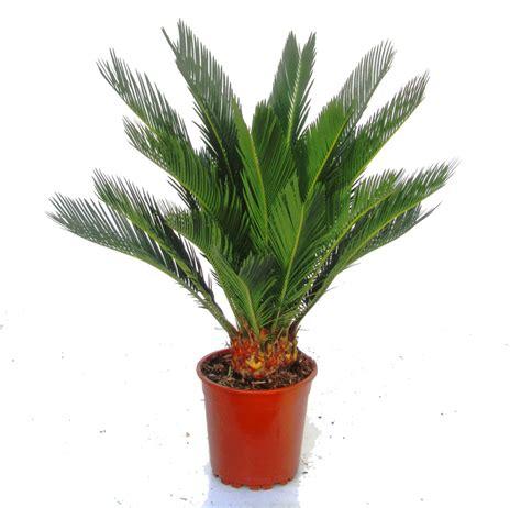 cycas revoluta kaufen cycas revoluta palmfarn zimmerpflanzen kaufen
