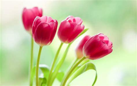 descargar fondos de pantalla flores de muchos colores hd descargar fondos de pantalla tulipanes de color rosa de