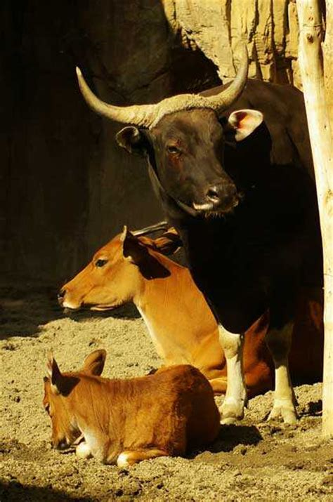 aurochs entre mythe  extinction en images dinosoria