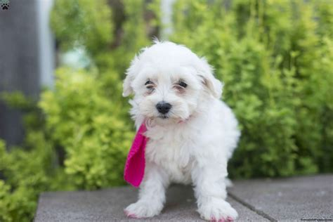 coton de tulear puppies for sale in pa lilly coton de tulear puppy for sale in ohio