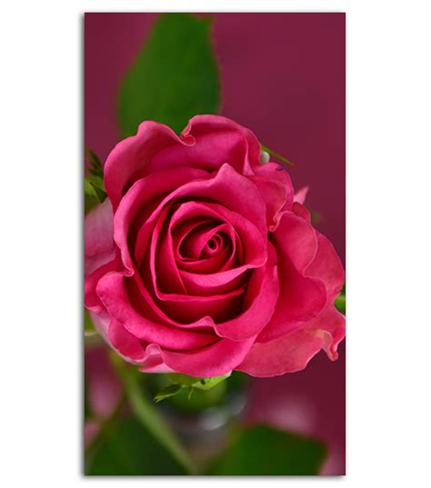 rose themes cell phone pink rose hd wallpaper for your mobile phone spliffmobile