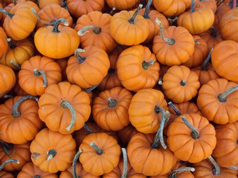 file mini pumpkins jpg