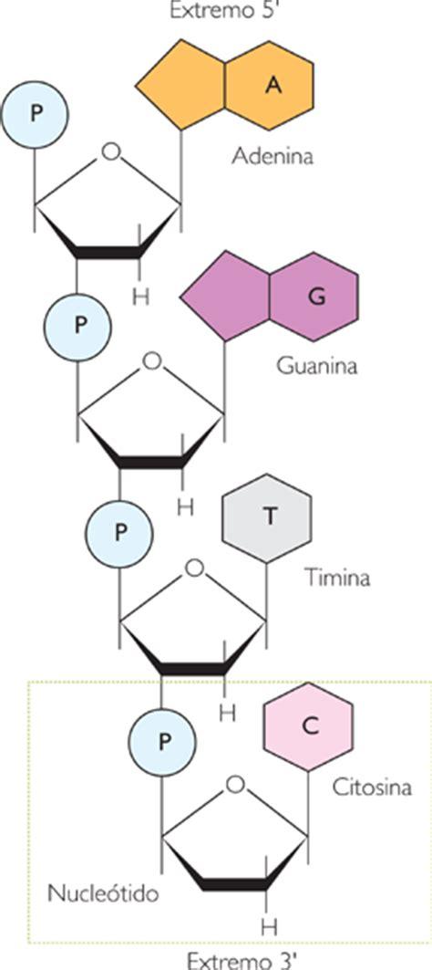 union de cadenas de adn incre 237 ble mundo e1 t 5 el adn y cromosomas