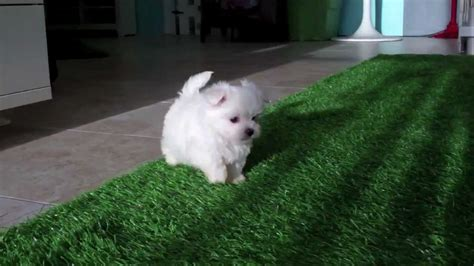 buy maltese puppy maltese puppies for sale in san diego