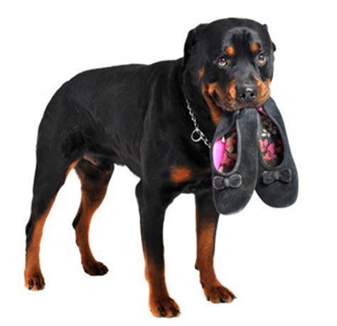 rottweiler care information rottweiler breed profile and information vetwest animal hospitals