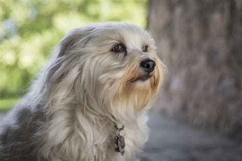 havanese health what are the differences between maltese and havanese dogs cuteness