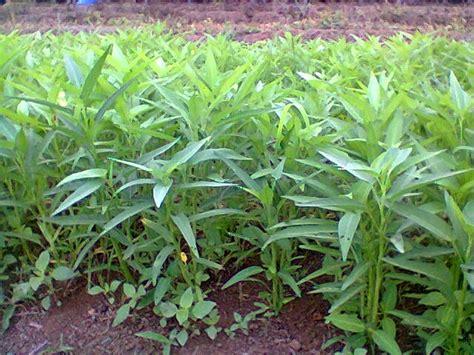 pengertian tanaman hortikultura  jenis jenisnya dasar
