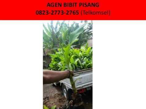 Bibit Pisang Cavendish Di Bali pohon pisang terbesar 0823 2723 2765 telkomsel