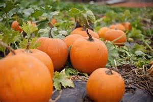 Pumpkin Patch Some Fall Fun The Pumpkin Patch
