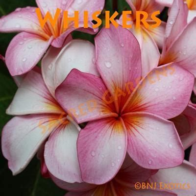 cutting whiskers rooted plumeria cutting quot whiskers quot bnj exotics