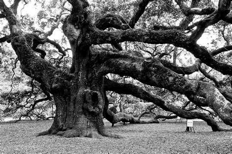 black tree angel oak tree 2009 black and white photograph by louis dallara